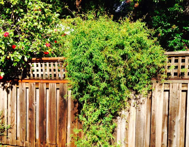 13 Best Evergreen Vine Climbers