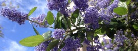 Ceanothus - California lilac in bloom