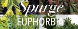 Spurge -Euphorbia