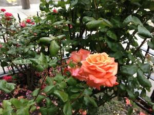 roses before pruning