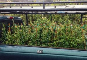 <em>Ficus pumila</em> all loaded in truck