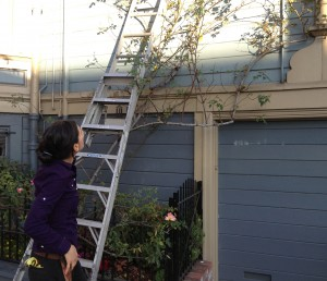getting ready to rose prune