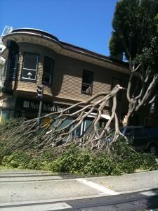 ficus tree limb failure