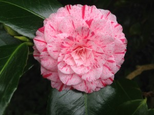 There Were Also Pink Azaleas Blooming Though I Thought The Red Flowering Groupings A Little More Striking Don T You Pop