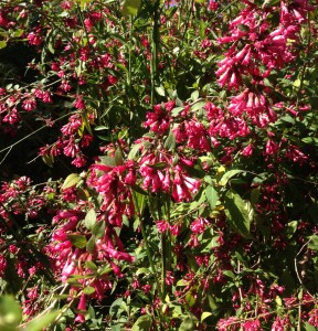 Winter flowering pink shrub love cestrum elegans is a nice arching pink flowering shrub that grows to about 8 to 10 feet tall mightylinksfo