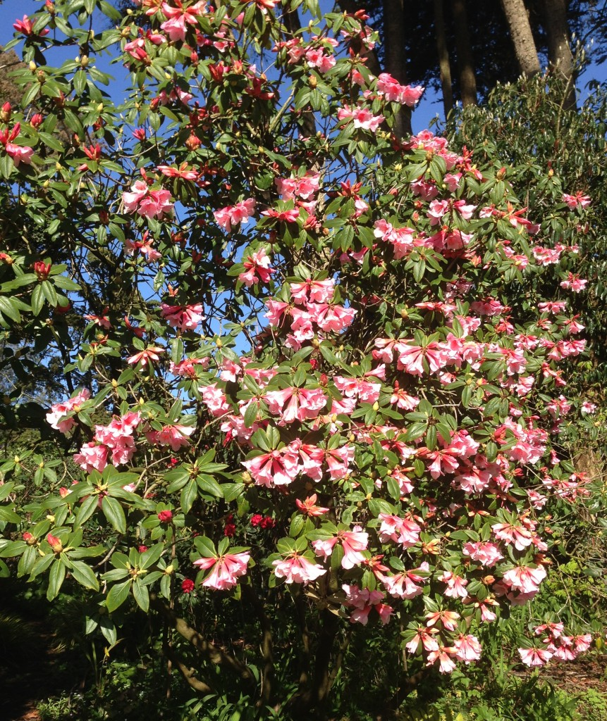 Winter flowering pink shrub love pink rhododendron mightylinksfo
