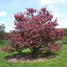 flowering crab apple