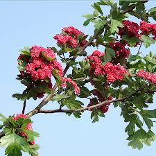 flowering hawthorn