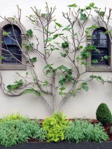 espalier tree example