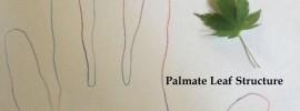 palmate leaf example