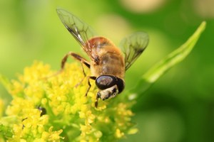 Beneficial: Hoover or Syrphid Fly