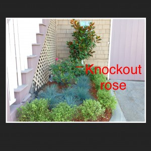 knockout rose and companion plants