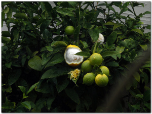 peeled meyer lemon on tree