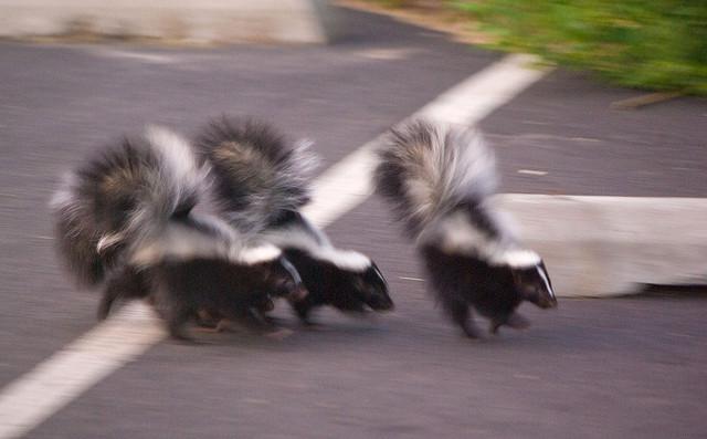 skunks on the run