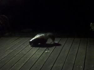 skunk on the back deck