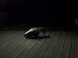 skunk on the back deck