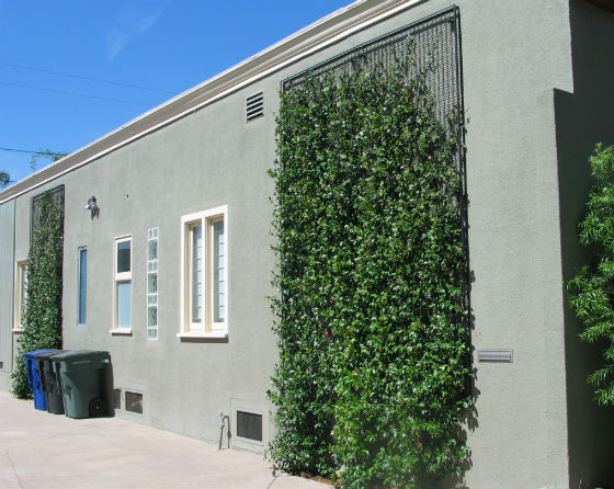 Easy Way To Train Twining Vine Plants On Walls Fences And
