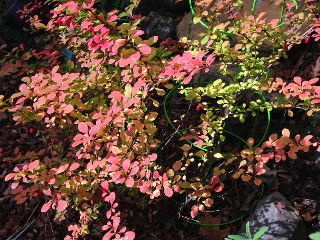 berberis fall color