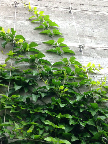 Easy way to train twining vine plants on walls fences and for Fast growing fence covering plants
