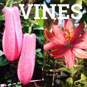 examples of vines