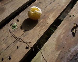 rat damaged lemon