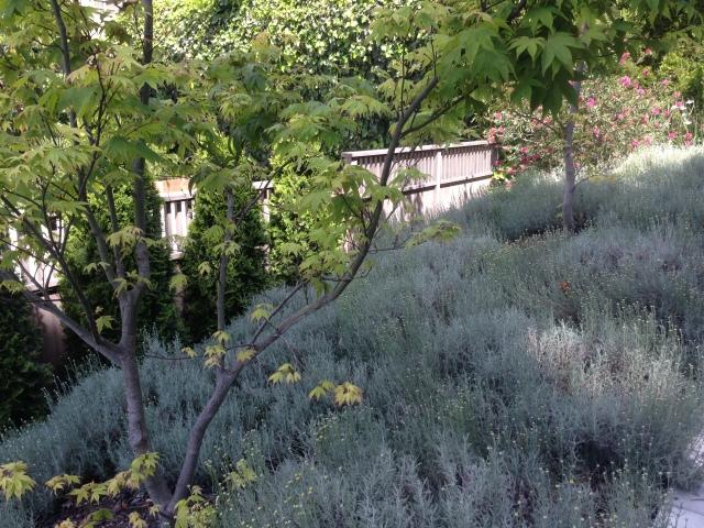 santolina lavender cotton
