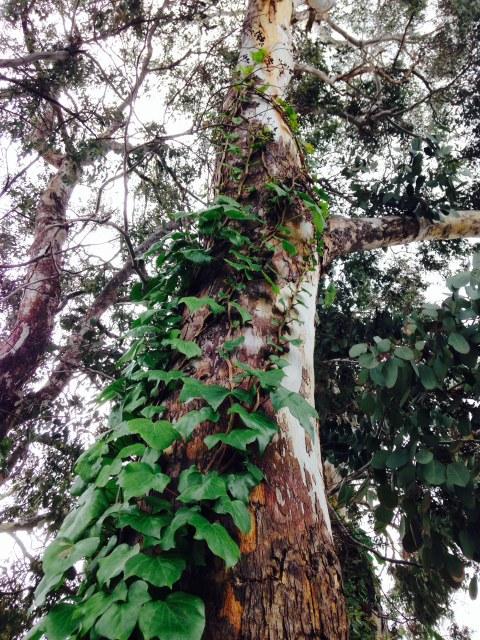 Ivy growing up eucalyptus