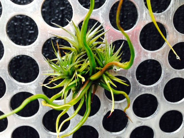Tillandsia on steel wall