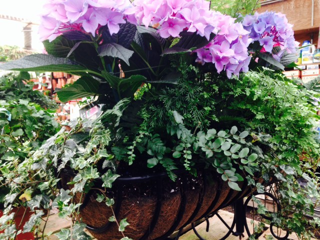 purple hydrangea with ferns in planter