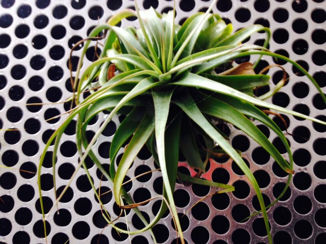 Tillandsia on Steel Cut Out Wall