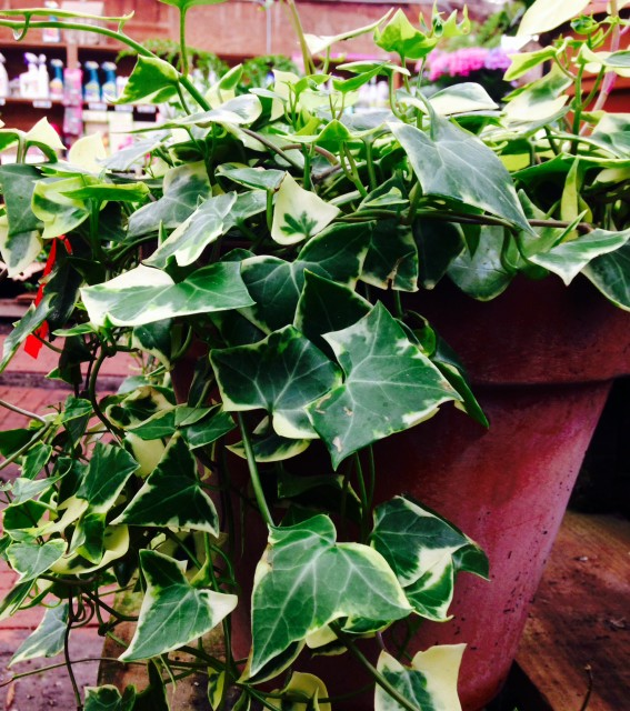 variegated ivy in pot