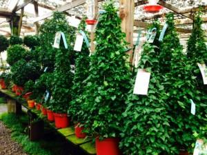 Ivy cone plants