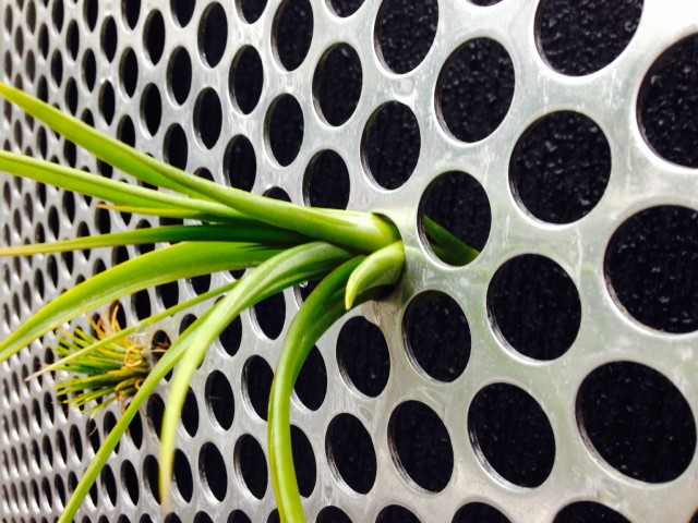 Air Plant in Steel Living Wall
