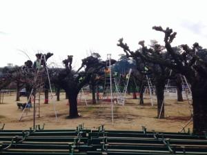pollarding tree pruning