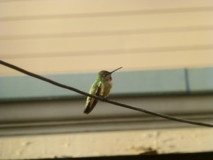 Learn What a Hummingbird Wants and How you Can Attract Them