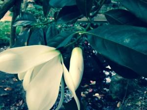 magnolia doltsopa flower bud