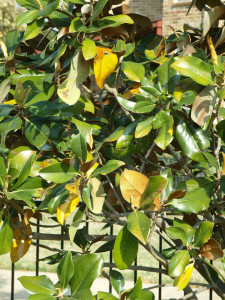 magnolia with yellowing leaves
