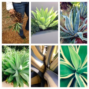 6 agave plants