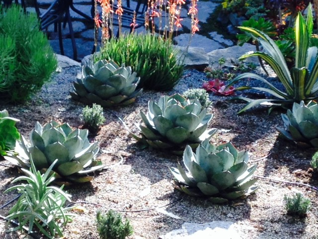 Agave parryi grouping