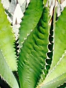 leaf pattern on agave