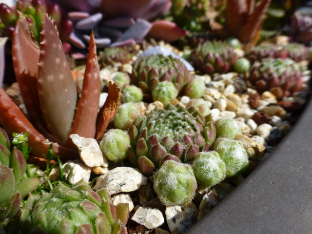 sempervivem also known as hen and chicks