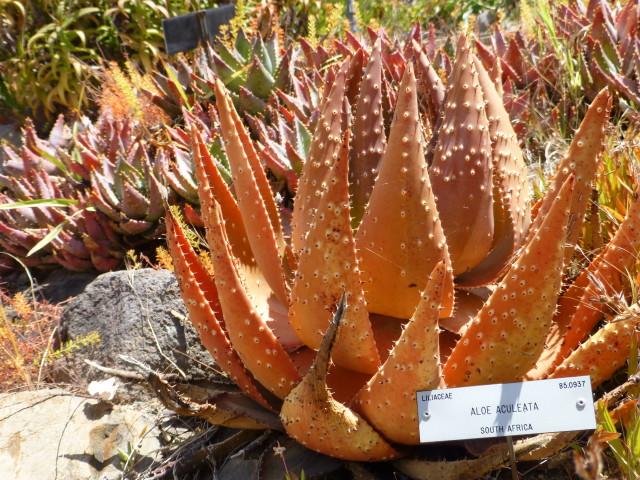 Aloe orange color