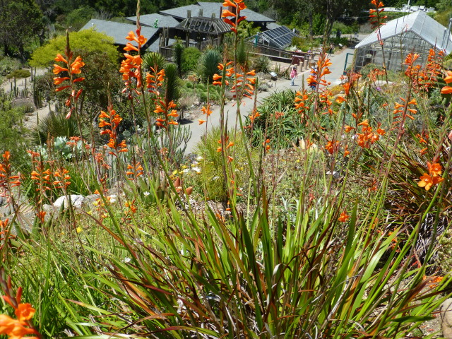orange watsonia