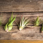 hinterland assorted air plants