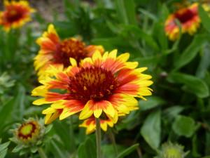 Blanket Flowers (Gaillardia)