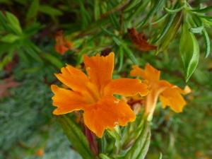 monkey flower - mimulus