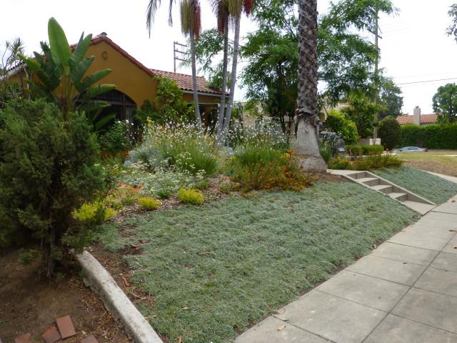 dymondia lawn on slope