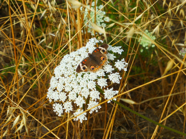 moth on queen anne's lace flower