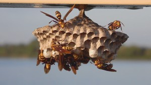 paper wasps and nest