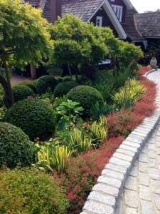 drift of cuphea cyanea in garden